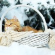 Red cat in wicker basket with scarf in winter time on fir tree background — Stock Photo #63532891
