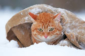 Red cat wrapped in blanket — Stock fotografie