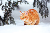 Red cat under fir tree — Stock Photo
