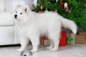 Samoyed dog with metal bowl in room with Christmas tree and white sofa on background — Stock Photo