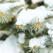 Covered with snow branch of spruce, outdoors — Stock Photo #63838459