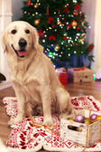 Labrador sitting on plaid near crate of baubles on wooden floor and Christmas decoration background — Stock Photo