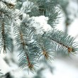 Covered with snow branch of spruce, outdoors — Stock Photo #64270207