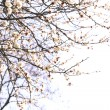 Blooming apricot tree twigs in spring close up — Stock Photo #64366151