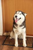 Beautiful cute husky sitting near the door in room — Stock Photo