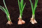 Germinated onion in soil close-up — Stock Photo