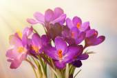 Bouquet of crocuses on bright background — Stock Photo