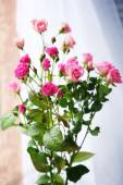 Beautiful pink roses on bright background — Stock Photo
