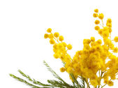 Beautiful sprig of mimosa isolated on white — Stock Photo