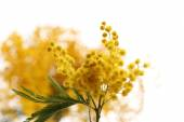 Beautiful sprig of mimosa close up — Stock Photo