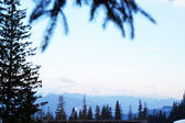 Spruce and Carpathian Mountains in wintertime — Stock Photo
