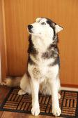 Beautiful cute husky sitting near the door in room — Stok fotoğraf