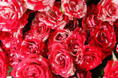 Beautiful roses close-up — Stock Photo