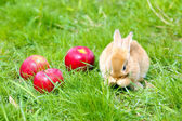 Rabbit with apples in grass — Stock Photo