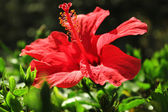 Beautiful red flower on green background — Stock Photo