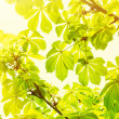Green leaves with sun rays — Foto de Stock   #70232709