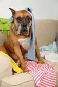 Dog in messy room, sitting on sofa, close-up — Stock Photo