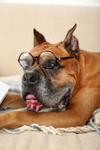 Cute dog in funny glasses sitting on sofa, on home interior background — Stock fotografie