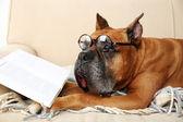 Roztomilý pes v legrační brýle a knihu ležící na pohovce, na domácí interiér pozadí — Stock fotografie