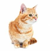 Portrait of red cat isolated on white — Stock fotografie