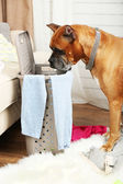 Dog demolishes clothes in messy room — Stock Photo
