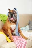 Cane in stanza disordinata, seduto sul divano, close-up — Foto Stock