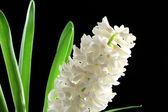 Beautiful white hyacinth on black background — Stock Photo