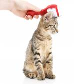 Female hand combing stripped kitten, isolated on white — Stock Photo