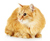 Red cat isolated on white background — Stock Photo