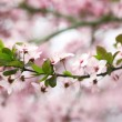 Cherry blossoms over blurred nature background, close up — Stock Photo #71562319