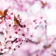 Cherry blossoms over blurred nature background, close up — Stock Photo #71562321