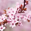 Cherry blossoms over blurred nature background, close up — Stock Photo #71562325