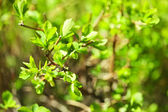 Fresh spring leaves on branch, close up — Stock Photo
