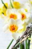Fresh narcissus flowers with willow sprigs, closeup — Stock Photo