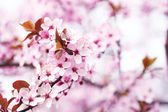 Cherry blossoms over blurred nature background, close up — Stock Photo