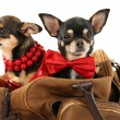 Cute chihuahua puppies in brown bag isolated on white — Stock Photo #71793301