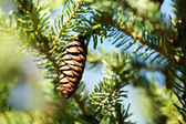Cone on fir-tree, outdoors — Stock Photo