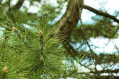 Branches of green spruce, closeup — Stock Photo