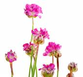 Beautiful pink flowers isolated on white — Stock Photo