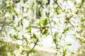 Blooming tree twigs with white flowers in spring close up — Stock Photo