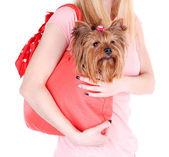 Adorable yorkshire terrier — Foto de Stock