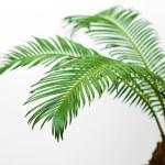 Green palm tree — Stock Photo #72150705