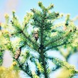 Cones on fir-tree, outdoors — Stock Photo #72151619