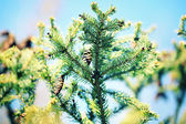 Cones on fir-tree, outdoors — Stock Photo