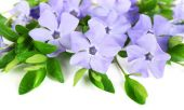 Purple periwinkle isolated on white — Stock Photo