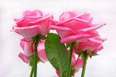 Hermosas rosas — Stockfoto
