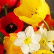 Bouquet of tulips and narcissus — Stock Photo #72160371