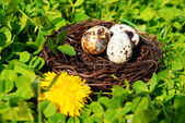 Nest with bird eggs — Stock Photo