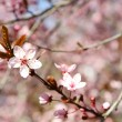 Blooming tree twig with pink flowers in spring close up — Stock Photo #72191071