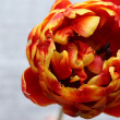 Beautiful bright tulip close up — Stock Photo #72479959